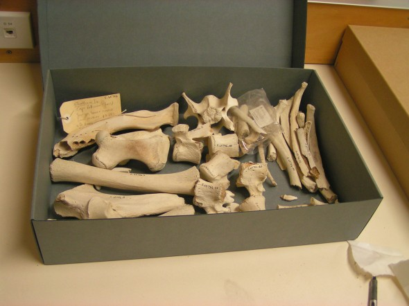 This box contained the bones of a sea lion found at the Chatham Islands. Photographer: Mathilde Meheut. © Te Papa