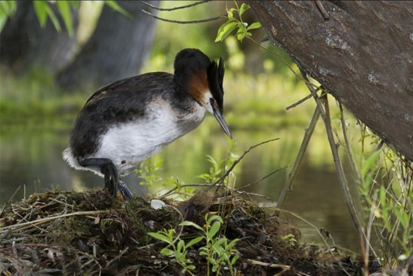 Adult Australasian grebe climbing on nest, Mackenzie Country. Photographer: Glenda Rees © Glenda Rees, courtesy NZ Birds Online