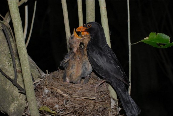 Eurasian blackbird. Adult male Eurasian blackbird feeding chicks at nest. Wellington, October 2007. Photographer: Peter Reese © Peter Reese, courtesy NZ Birds Online
