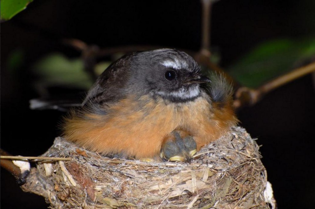 North Island New Zealand fantail on nest with chicks. , October 2007. Photographer: Peter Reese © Peter Reese, courtesy NZ Birds Online