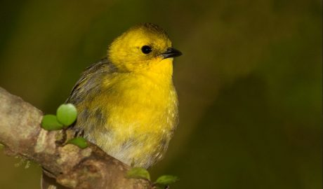 Juvenile mōhua (yellowhead), Eglinton Valley, Fiordland. Photographer: Glenda Rees © Glenda Rees, courtesy NZ Birds Online