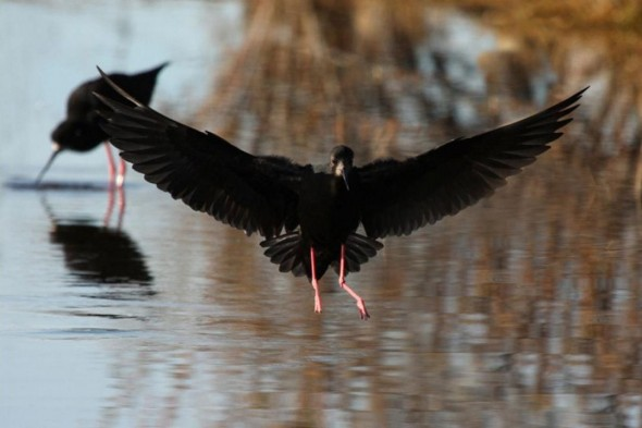 Adult black stilt landing showing underwings, Ohau River delta. Photographer: Glenda Rees © Glenda, courtesy NZ Birds Online
