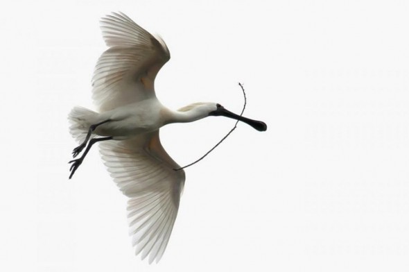 Royal spoonbill in flight with nesting material, South Westland. Photographer: Glenda Rees © Glenda Rees, courtesy NZ Birds Online