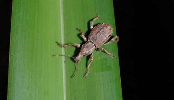 Flax weevil on Titi Island, Marlborough Sounds, Jan 2013. Image: Colin Miskelly, Te Papa