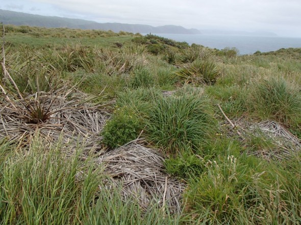 Dead flax bushes as the flax weevil release site on Mana Island, Nov 2013. Image: Jeff Hall, Department of Conservation