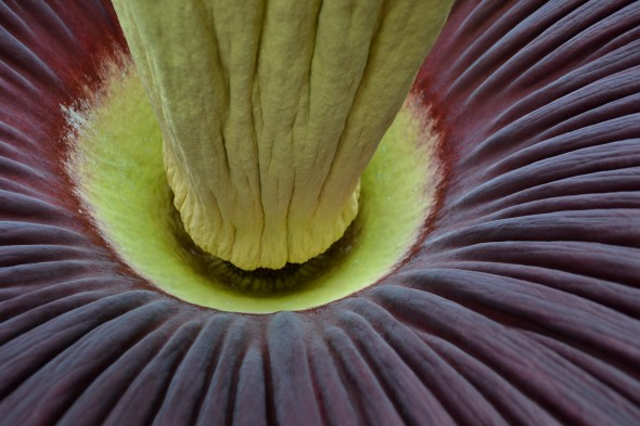 Close-up of the base of a titan arum spadix, Auckland Domain Wintergarden, 01 December 2013. Photo credit Auckland Council.