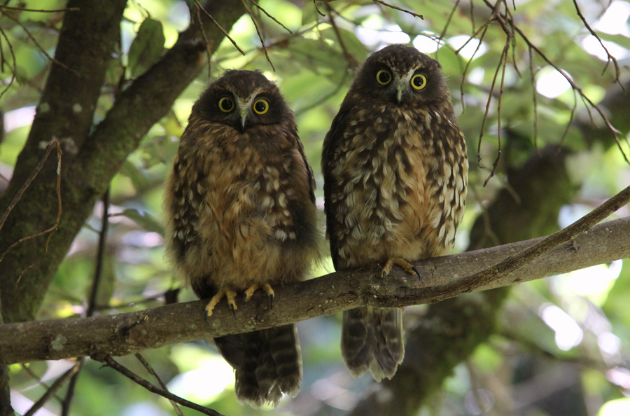 Adult morepork with juvenile. Blowhard Bush, Hawkes Bay, January 2013. Photographer: Adam Clarke © Adam Clarke, courtesy NZ Birds Online