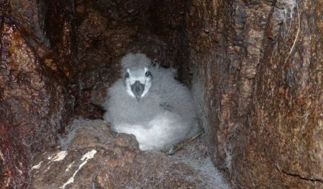 Broad-billed prion chick, Snares Island. Te Papa