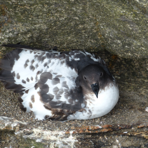 A Cape petrel on its nest on Toru Islet, November 2013. Image: Alan Tennyson, Te Papa.