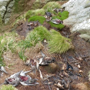Dead skua prey remains