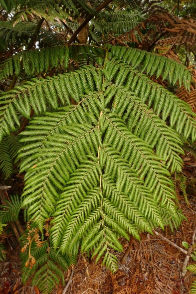Frond of Dicksonia perriei, Mt Panie, New Caledonia. Photo: Leon Perrie