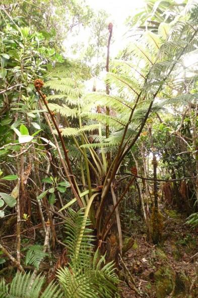Dicksonia perrei, Mt Panie, New Caledonia. Photo: Leon Perrie.