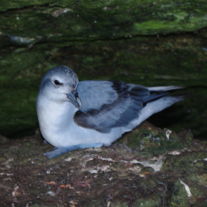 Fulmar prion on Toru Islet, Western Chain, November 2013. Image: Colin Miskelly, Te Papa.