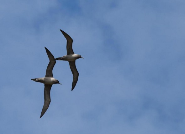 Light-mantled sooty albatross in synchronised courtship flight. Macquarie Island, October 2011. Photographer: Sonja Ross © Sonja Ross, courtesy NZ Birds Online