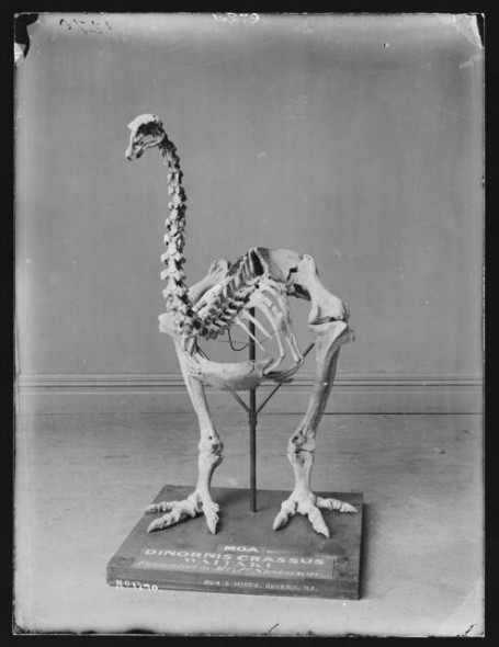 Moa skeleton, New Zealand. Burton Brothers, Maker unknown. Te Papa