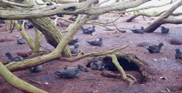 Muttonbirds on forest floor