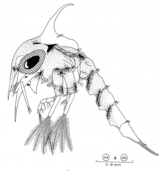 What is this mystery animal? Drawing by Rick Webber, Curator of Invertebrates © Rick Webber
