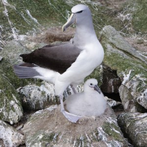 Salvin's mollymawk and chick on Toru Islet, November 2013. Image: Colin Miskelly, Te Papa.