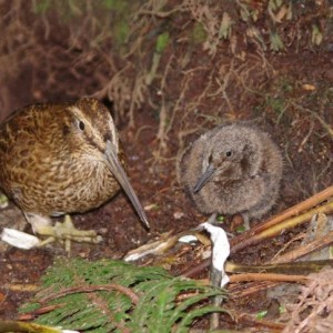Snipe and chick