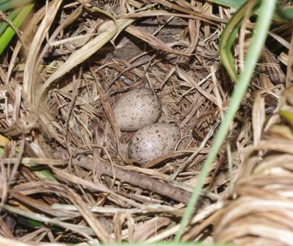 Snipe nest