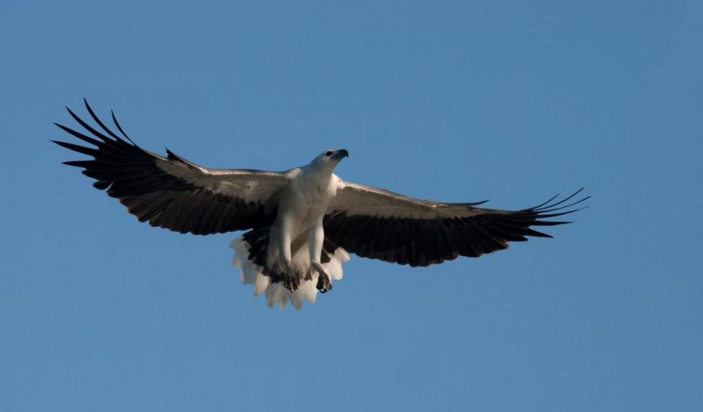 Adult white-bellied sea eagle in flight, Kakadu National Park, Northern Territory, Australia, April 2007. Photographer: Sonja Ross © Sonja Ross, courtesy NZ Birds Online.