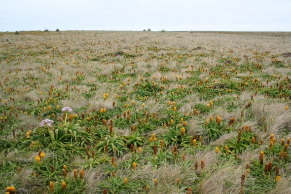 Fields of Bulbinella rossii on Enderby Island. Photo by Jessie Prebble