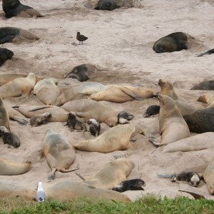 Sealion pups at Sandy Bay, Enderby Island. Photo by Jessie Prebble