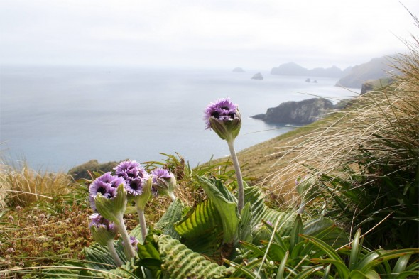 Pleurophyllum speciosum on Campbell Island. Photo by Jessie Prebble