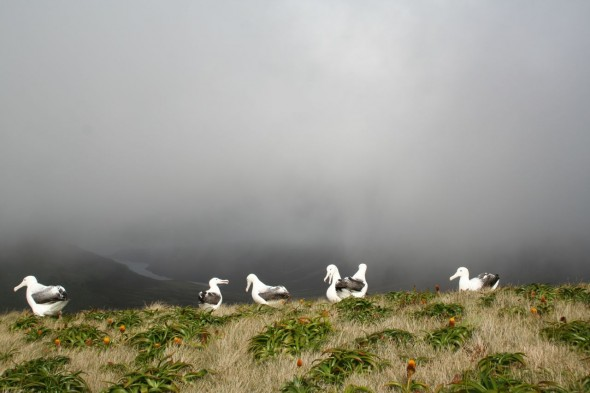 Southern royal albatross on Campbell Island. Photo by Jessie Prebble