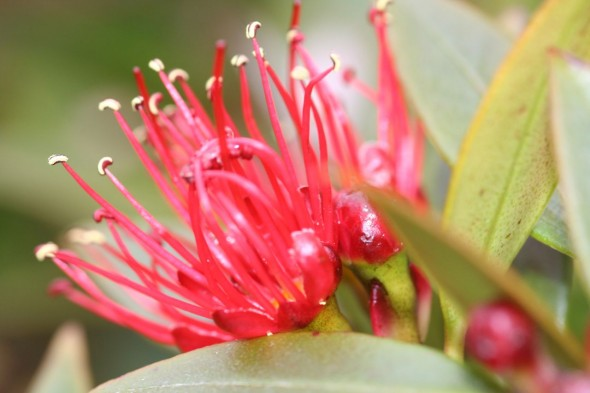 Close up of Rata flower at the Hardwicke settlement. Photo by Jessie Prebble