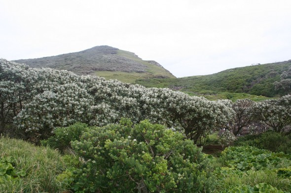 Olearia Forest, Veronica shrubland, Poa grassland and Stilbocarpa plant cover on the Main Island of the Snares. Image: Antony Kusabs, Te Papa