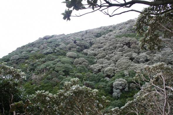 Layers of forest and shrubland at a coastal Snares site showing the two tree species <em> Olearia lyallii</em> (grey green) and <em>Brachyglottis stewartiae</em> (dark green) with <em>Veronica elliptica</em> (yellow green). Image: Antony Kusabs, Te Papa