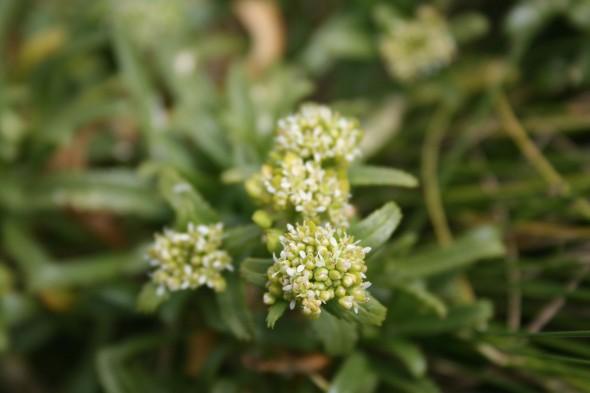 Cook's scurvy grass, Lepidium limenophylax. Image: Antony Kusabs, Te Papa