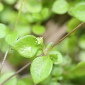 Stellaria decipiens. Image: Antony Kusabs, Te Papa