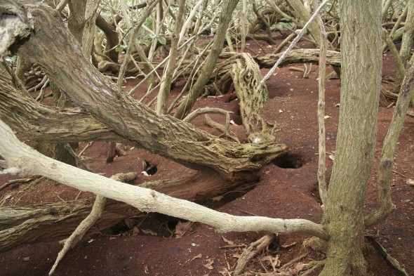 Bare substrate and titi / mutton bird burrows in Olearia lyallii forest, a common site on North East Island, Snares. Image: Antony Kusabs, Te Papa