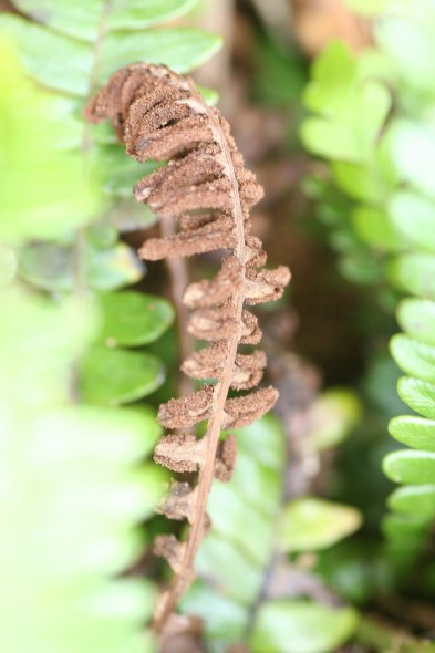 Fertile frond of Blechnum durum with characteristic crowded pinnae, near Station Cove, North East Island. Image: Antony Kusabs, Te Papa