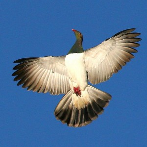 New Zealand pigeon in display flight. Wanganui, December 2007. Photographer: Ormond Torr © Ormond Torr, courtesy NZ Birds Online.