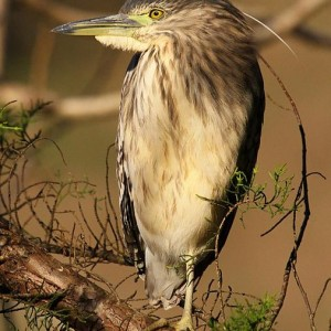 Immature Nankeen night heron. Wanganui, June 2012. Photographer: Ormond Torr © Ormond Torr, courtesy NZ Birds Online.