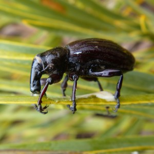A speargrass weevil (Lyperobius clarkei) on an on the speargrass Aciphylla ferox speargrass.