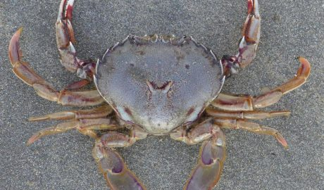 The paddle crab (Ovalipes catharus) of New Zealand. It lives just under water at sandy beaches and burrows leaving only its eyes visible, sitting in wait for prey (and swimmers' toes!). Large males can reach 150 mm across the carapace. Photographer: WR Webber © WR Webber