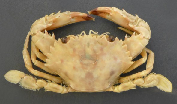Charybdis hellerii. A preserved specimen from Te Papa's reference collection, found live in a sea-chest. C. hellerii is one of over 80 species in the paddle crab genus Charybdis. Photographer: WR Webber © WR Webber
