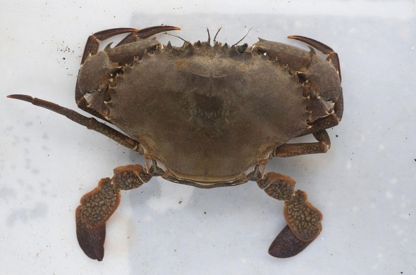 Mud crab (Scylla serrata), alive in the Visitor Centre at Leigh Marine Laboratory. It's a very large paddle crab reaching over 200 mm across the carapace (shell). The mud crab lives in estuaries and mangroves and is very tasty eating. Permission to use photo kindly given by Dr Richard Taylor, University of Auckland, Leigh Marine Laboratory. Photographer: Dr Richard Taylor © Dr Richard Taylor