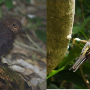 Juvenile blackbird (left) and juvenile chaffinch (right) on Ohinau Island, February 2014. These two introduced species are now the most widely distributed bird species on the New Zealand mainland, and have reached most forested offshore islands. Images: Colin Miskelly, Te Papa