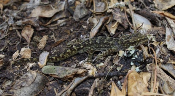 Common gecko, rock stack off Ohinau Island, February 2014. Image: Colin Miskelly, Te Papa