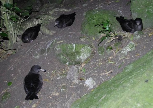 Courting flesh-footed shearwaters on the forest floor at night, Ohinau Island, Jan 2014. Image: Colin Miskelly, Te Papa