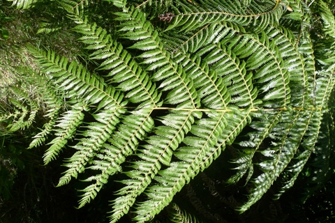 The upperside of the frond is a vibrant green, and the axes are prominently yellow. Photo Leon Perrie. (c) Te Papa.