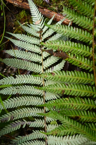 Many Northland plants have silver (or even green) frond-undersides, rather than white.  Photo (c) Leon Perrie.