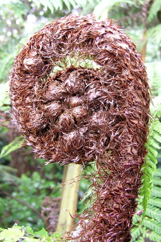 A koru, or unfurling young frond of a silver fern, with a dense covering of scales.  Photo (c) Leon Perrie.