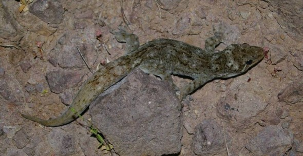 A Duvaucel's gecko on Taranga (note its re-grown tail). Image: Colin Miskelly, Te Papa