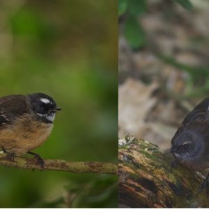New Zealand fantails on Ohinau Island, February 2014 (adult on left, juvenile on right). Images: Colin Miskelly, Te Papa